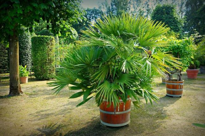 Cuál es el mejor sustrato para las palmeras en maceta? – Universo ...