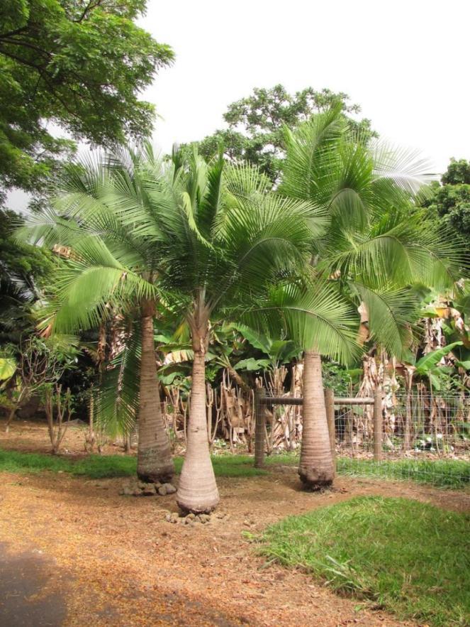 Jóvenes palmeras Ravenea rivularis
